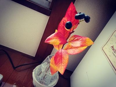 ブルーベリーの紅葉を入荷しましたー。 今月末には終わってしまう紅葉や黄葉、見ておかなきゃですね。  ザ・トッピングルームでは、完全個室な上に、施術の後はゆっくりしていける待合室ご用意しております。  時間を気にせずゆっくり出来る時に来て頂けるのが私も嬉しく思います。  #日暮里 #三河島 #ストレッチサロン #タイ古式 #エステサロン