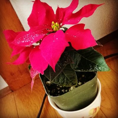 ポインセチア入荷しました。 冬まで紅葉。  #タイ古式エステサロン #ストレッチ #オーストラリア